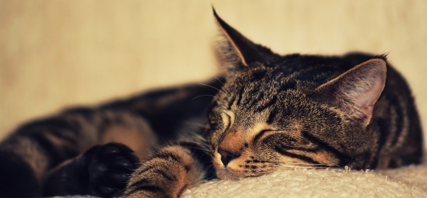 Cats may know nothing about how to stay focused, but they surely know how to have enough sleep.